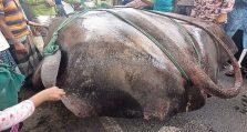 শাপলা পাতা' মাছ