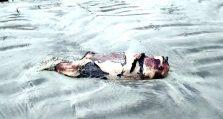 কুয়াকাটা সৈকতে ১২ ঘন্টার ব্যবধানে আবারও ভেসে এল মৃত ডলফিন
